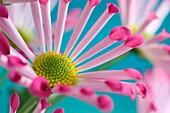 Pink spoon chrysanthemums, highly decorative joyful summer flower.