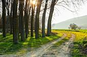 Poplar grove. Murieta, Navarre. Spain, Europe.