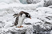 Adult gentoo penguin, Pygoscelis papua, molting on ice at Brown Bluff, Antarctica.