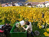 Grape Harvest by traditional hand picking in the Wachau area of Austria. The Wachau is a famous vineyard and listed as Wachau Cultural Landscape as UNESCO World Heritage. Europe, Central Europe, Austria, Lower Austria, November.