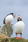 Atlantic Puffin (Fratercula arctica) in a puffinry on Mykines, part of the Faroe Islands in the North Atlantic. Europe, Northern Europe, Denmark, Faroe Islands.
