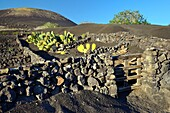 Lanzarote, Canary Islands. Traditional cinder rock walls protect cactus garden in volcanic soil landscape around La Geria.