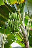 Banana tree, Coffee Cultural Landscape, Buenavista, Quindio, Colombia, South America