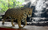 Jaguar at the La Paz waterfalls under the vulcano Poas in the center, Costa Rica