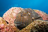 Giant Hawkfish, Cirrhitus rivulatus, Arch, Darwin Island, Galapagos, Ecuador