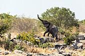 Elephant leaving a water hole in the Etosha National Park, Namibia, Africa.