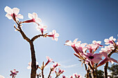 blooming tree in Himba country, Kunene, Namibia, Africa