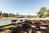 Cattle belonging to the Himba People, at the Kunene River, the border to Angola. Namibia, Africa