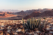 View from the Krone Canyon towards the south. Namibian Poison Spurge / Gifboom, Damaraland, Kunene, Namibia.
