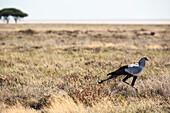 Secretary bird in the Etosha National Park, Namibia, Africa