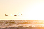 Flamingos flying at sunset along the Atlantic coast between Walvis Bay and Swakopmund, Erongo, Namibia, Africa.