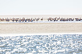 Pelicans in the lagoon of Sandwich Harbour, Walvis Bay, Erongo, Namibia, Africa.