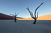 500-year-old acacia skeletons in the Deadvlei clay pan. To the left, Big Daddy, with 380 meters one of the world's talles dunes. Sossusvlei, Namib Naukluft National Park, Hardap, Namibia, Africa.