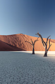 500-year-old acacia skeletons in the Deadvlei clay pan. Overlooking Big Daddy, with 380 meters one of the world's talles dunes. Sossusvlei, Namib Naukluft National Park, Hardap, Namibia.