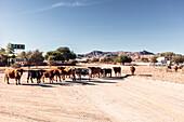 Rinder an der Straßenkreuzung der C27 und D826, Betta Campsite, Hardap, Namibia.