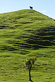cow on hill, green grazing land, cabbage tree, Wharariki Beach, South Island,  New Zealand