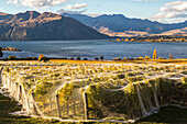 grape vines, protective bird netting, Rippon Vineyard, organic wine, autumn, shores of Lake Wanaka, nobody, Otago, South Island, New Zealand