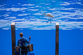 Egret on pool perimeter and marine animal trainer during One Ocean show at Shamu Stadium of Sea World Orlando theme park, Orlando, Florida, USA