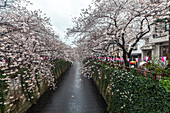 Road with Cherry Trees in full blossom at Meguro River, Meguro, Tokyo, Japan