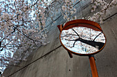 Cherry tree in blossom reflection in traffic mirror at a crossing in Shirokanedai, Minato-ku, Tokyo, Japan