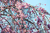 Branches of hanging cherry tree with blossoms against cyan sky, Bunkyo-ku, Tokyo, Japan
