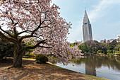 Alter Kirschbaum in voller Blüte am Teich vom Shinjuku Gyoen, Shinjuku, Tokio, Japan