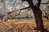 Japaner beim Picknick unter altem Kirschbaum in Blüte im Shinjuku Gyoen, Shinjuku, Tokio, Japan