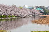 Kirschblüte beim Tempel Benten-do am Shinobazu-no-ike, Ueno, Taito-ku, Tokio, Japan