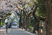 Lady with bicycle entering Yanaka Cemetery with falling cherry blossom, Taito-ku, Tokyo, Japan