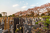 Graves and cherry trees at Somei Cemetery, Komagome, Toshima-ku, Tokyo, Japan