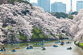 Chidori-ga-fuchi with leisure boats people enjoying cherry blossom in spring, Chiyoda-ku, Tokyo, Japan
