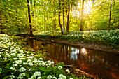 Sun, Forest, River, Bears Garlic, Wildflower, Spring, Park, Leipzig, Germany, Europe