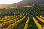 Autumnal vineyards in the Termenregion, Baden near Vienna, industrial district, Lower Austria, Austria