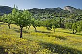 Almond trees, Alaro, Mallorca, Balearics, Spain