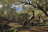Olive grove at Son Marroig, Deia, Mallorca, Balearics, Spain