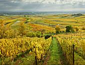 herbstliche Weinberge in der Termenregion, Baden bei Wien, Industrieviertel, Niederösterreich, Österreich