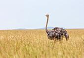 Female Ostrich, standing in high grass looking in to the camera, Masai mara, Kenya, Africa.