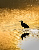 They heron at sunrise on the marsh. Doñana Natural Park. Seville. Andalusia. Spain.