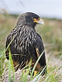 Striated Caracara (Phalcoboenus australis) or Johnny Rook, considered as very intelligent and curious, one of the rarest birds of prey in the world. South America, Falkland Islands, January.