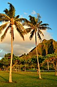 Palm Trees Frame Jagged Mountains at Kualoa Park on Oahu Island.