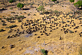 Aerial view of African buffalo or Cape buffalos (Syncerus caffer). Okawango Delta, Botswana. The Okavango Delta is home to a rich array of wildlife. Elephants, Cape buffalo, hippopotamus, impala, zebras, lechwe and wildebeest are just some of the large ma