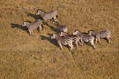Aerial view of plains zebras, (Equus quagga), Okavango Delta, Botswana. The Okavango Delta is home to a rich array of wildlife. Elephants, Cape buffalo, hippopotamus, impala, zebras, lechwe and wildebeest are just some of the large mammals can be found in