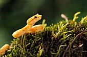 Eyelash Viper (Bothriechis schlegelii) - Laguna del Lagarto Lodge, Boca Tapada, Costa Rica [Controlled Specimen].
