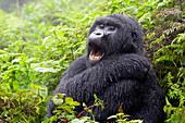 Mountain Gorilla (Gorilla gorilla beringei) female from the Agasha group, portrait in rain and yawning, Volcanoes national park, Rwanda.
