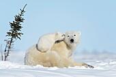 Polar bear mother (Ursus maritimus) with new born cub lying down on tundra, looking at camera, Wapusk National Park, Manitoba, Canada.