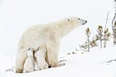 Polar bear mother (Ursus maritimus) feeding two new born cubs, Wapusk National Park, Manitoba, Canada.