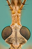 Tipula is a very large insect genus in the fly family Tipulidae. They are commonly known as crane flies or daddy longlegs. Worldwide there are well over a thousand species.