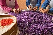 Frauen sammeln Narben aus Safran Krokus Blumen. madridejos. Spanien. Safran ist das Stigma der Krokusblüte, die ursprünglich aus Kleinasien stammte. Safran heißt Azafrán auf Spanisch. Heute werden fast drei Viertel der weltweiten Safranproduktion in Spani