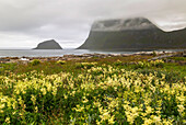 Haukland beach with meadowsweet in the for ground and fog lying over the mountain in the background with cloudy weather, Lofoten Islands, Norway.