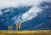 The guanaco (Lama guanicoe) is a camelid native to South America that stands between 1 and 1. 2 metres (3 ft 3 in and 3 ft 11 in) at the shoulder and weighs about 90 kg (200 lb). The colour varies very little (unlike the domestic llama), ranging from a li